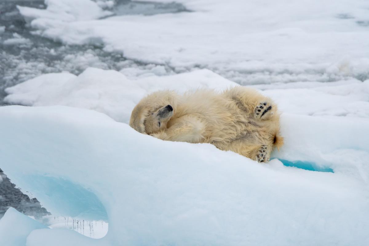 Polar bear (Ursus maritimus) rolling on the ice near Svalbard, Norway.