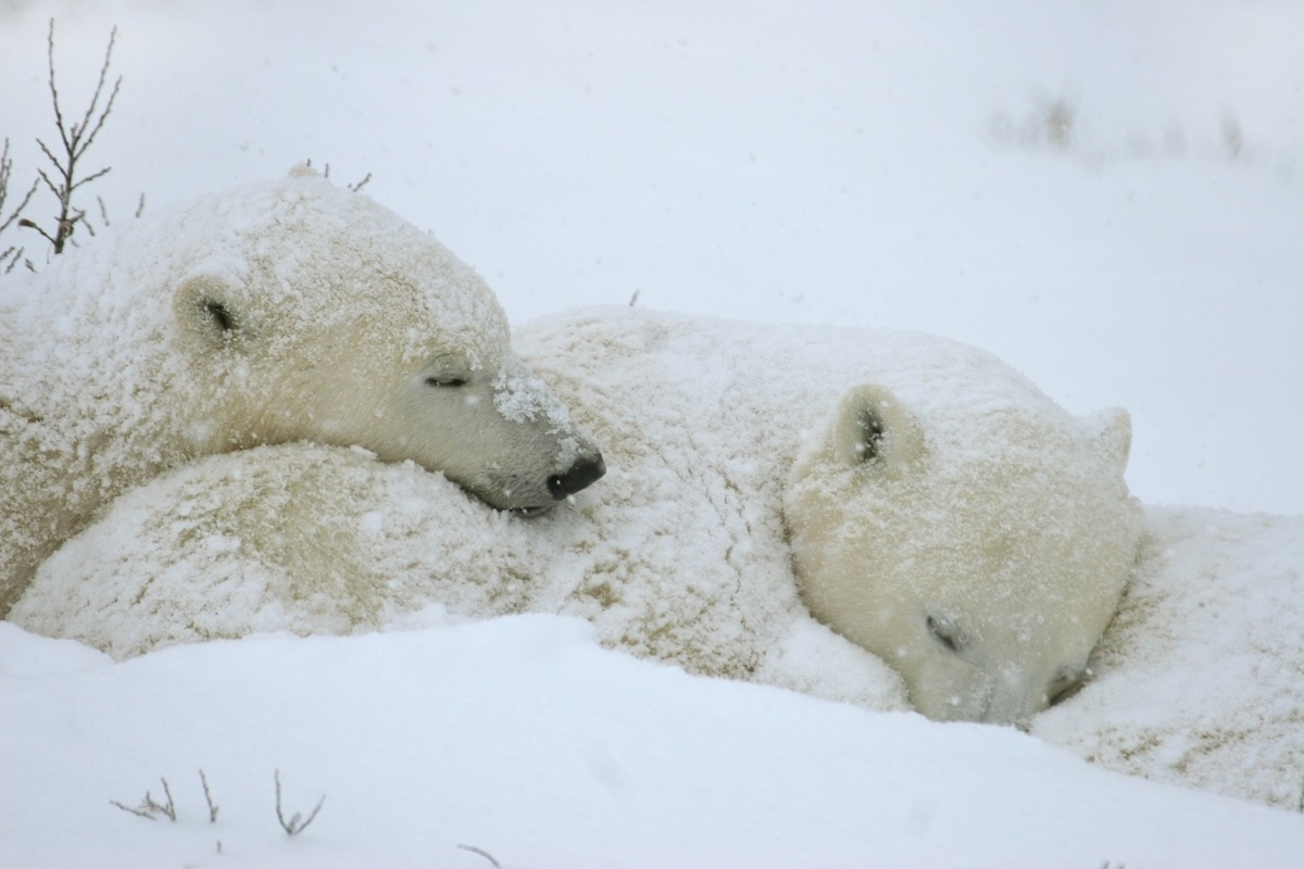 polar bear cubs sleep next to their mother during a snow storm. The bears are waiting for the bay to freeze over allowing them to hunt seals on the ice Manitoba, Canada.