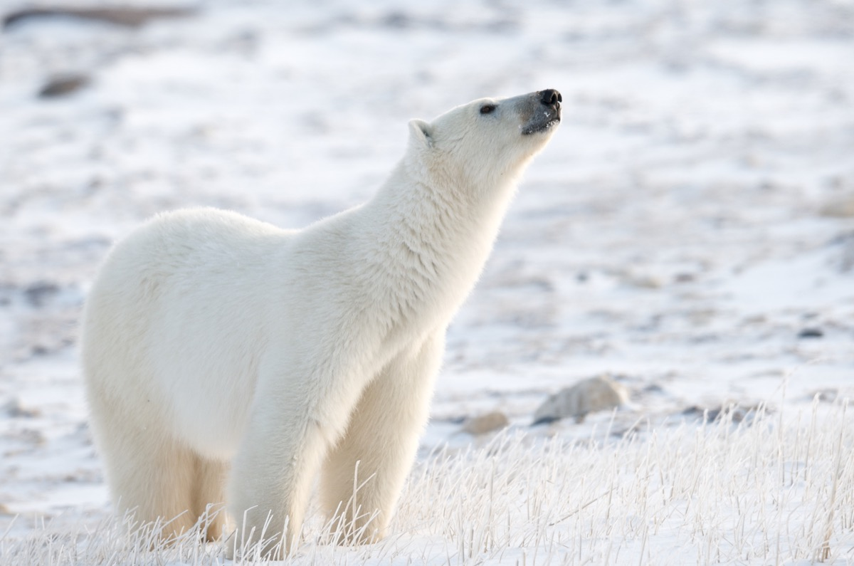 polar bear sniffing the air for its prey