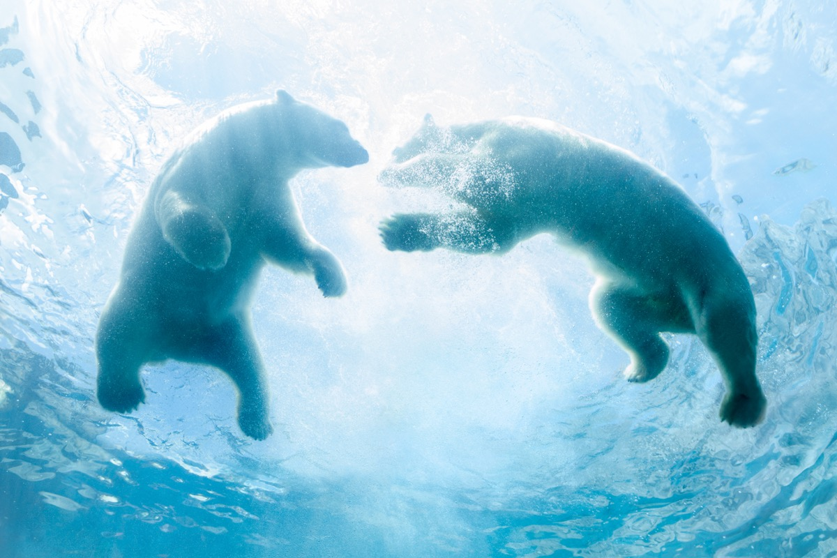 two backlit polar bear cubs play in water as seen from below.