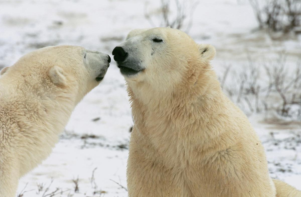 Pair of polar bears interacting in tundra in Churchill, Canada
