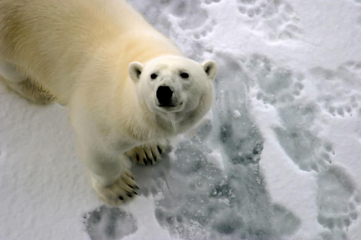 polar bear foot tracks in the snow