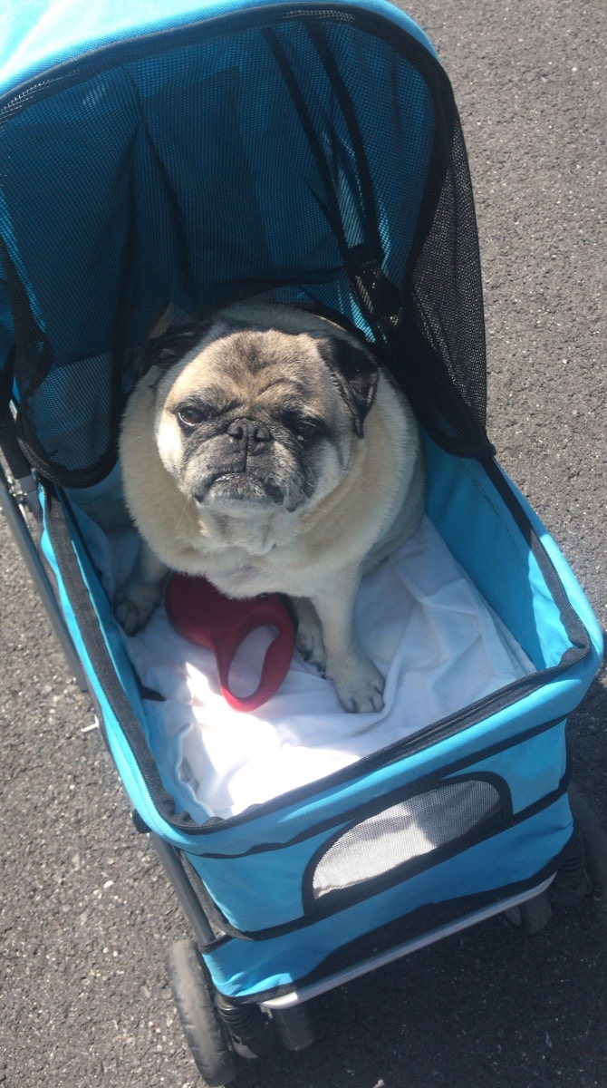 grumpy pug in stroller