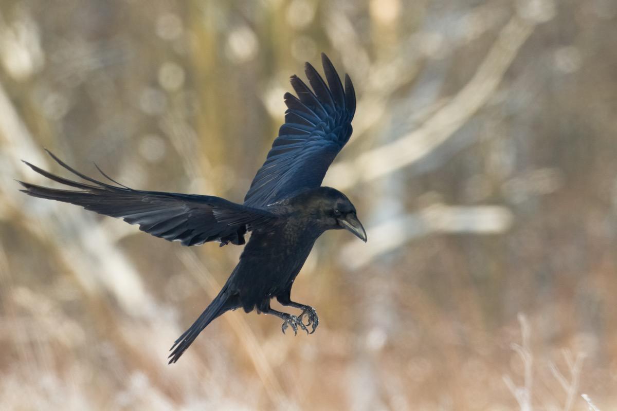 Bird - flying Black Common raven (Corvus corax). Winter. Halloween - Image