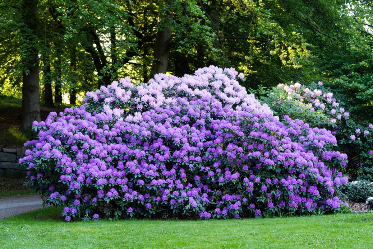 Rhododendron Bush Dangerous Plants in Your Backyard