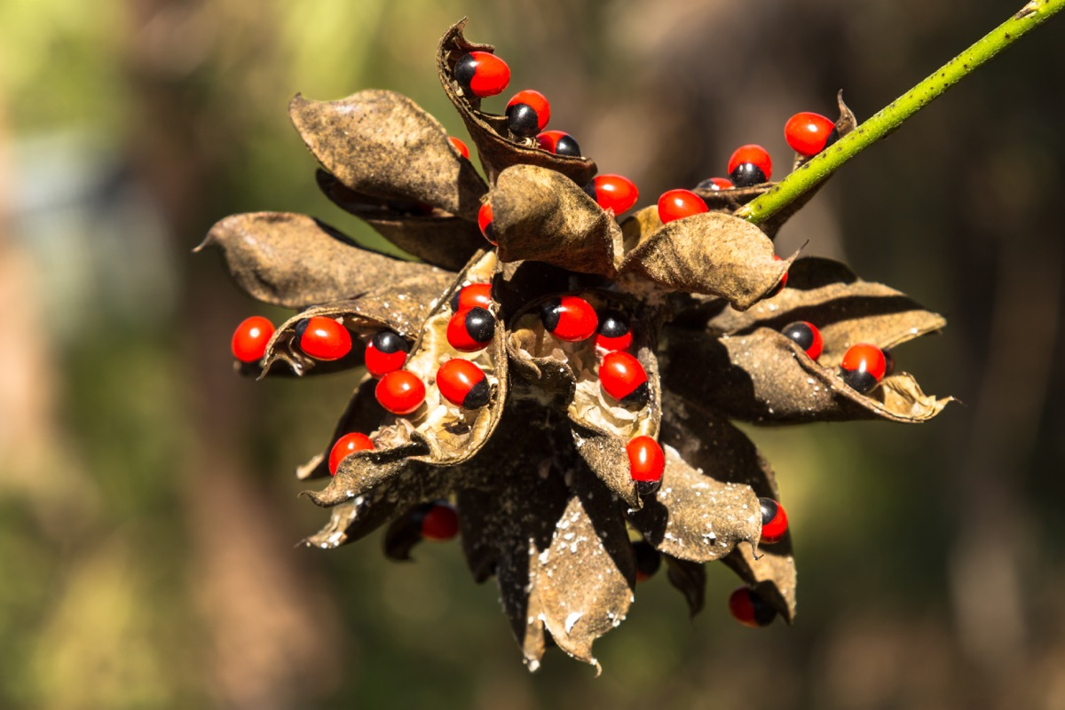Rosary Pea Dangerous Plants in Your Backyard