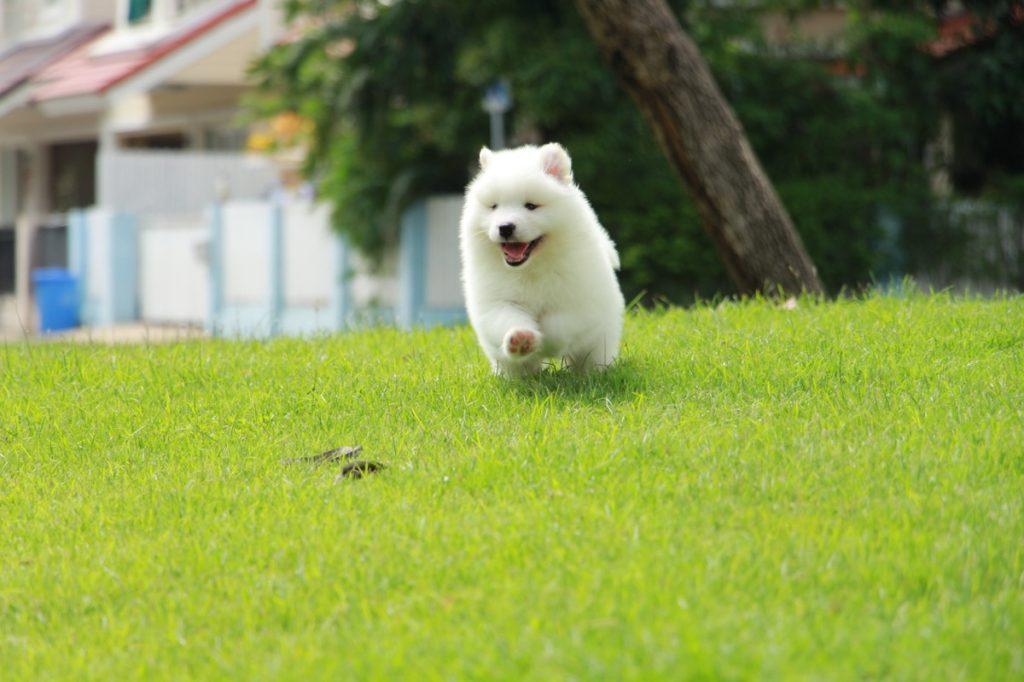 Jenis anjing Samoyed Ras anjing paling lembut