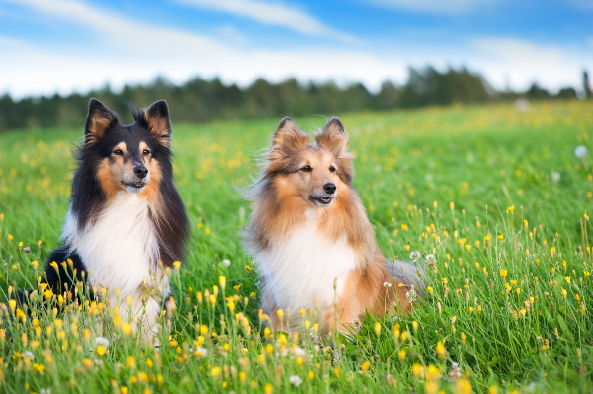 Shetland Sheepdog fluffiest dog breeds