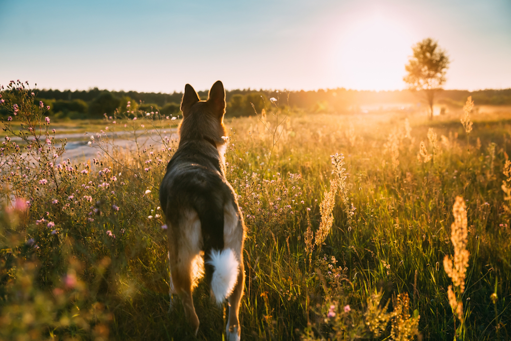 dog looking at sunset - dog puns