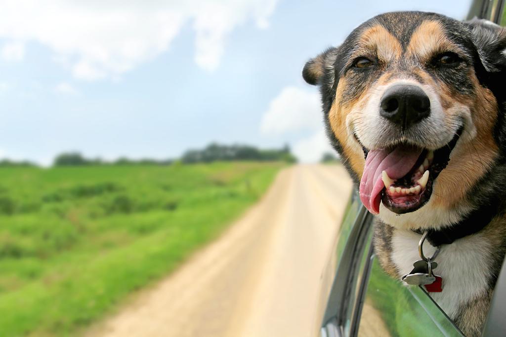 dog savoring the car ride
