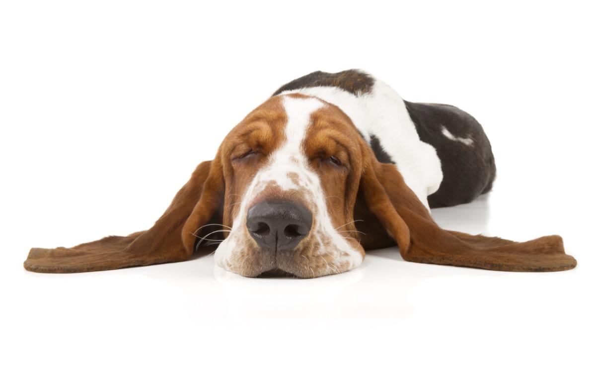 sleeping dog basset hound