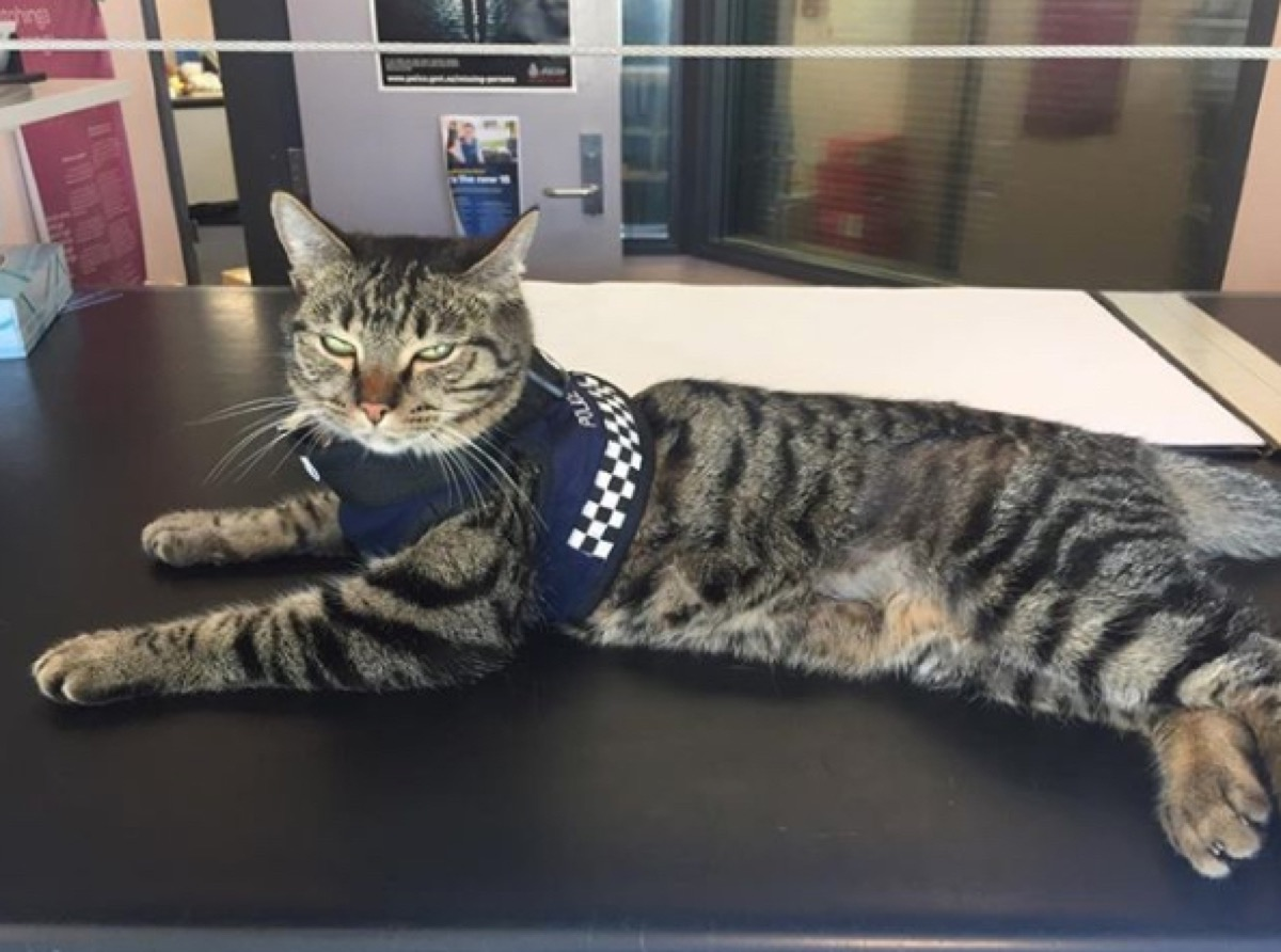Snickers the Police Cat adorable police animals