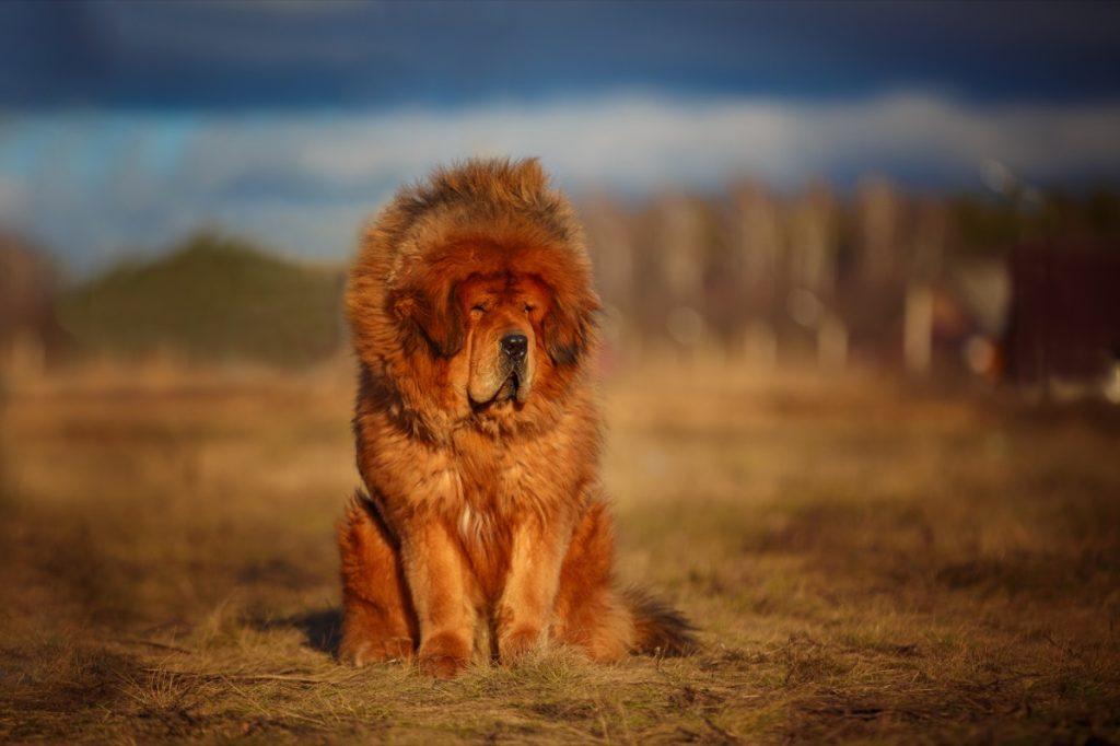 Trah anjing paling lembut dari mastiff Tibet