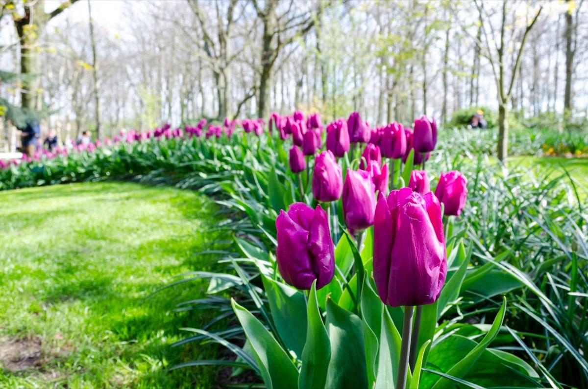 Tulip Flowers in a Garden Dangerous Plants in Your Backyard