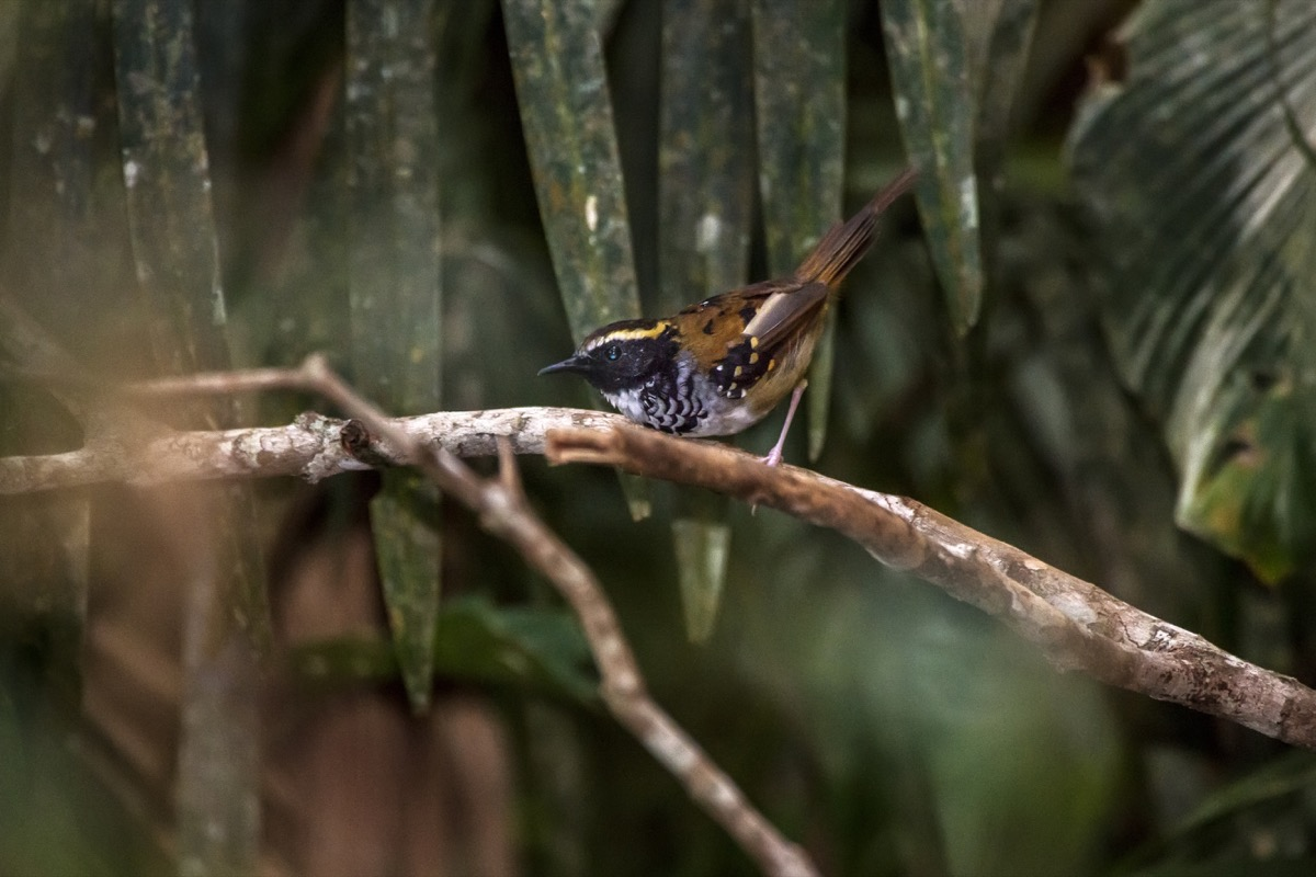 White-bibbed Antbird photographed in Domingos Martins, Espírito Santo - Southeast of Brazil. Atlantic Forest Biome. Picture made in 2013. - Image