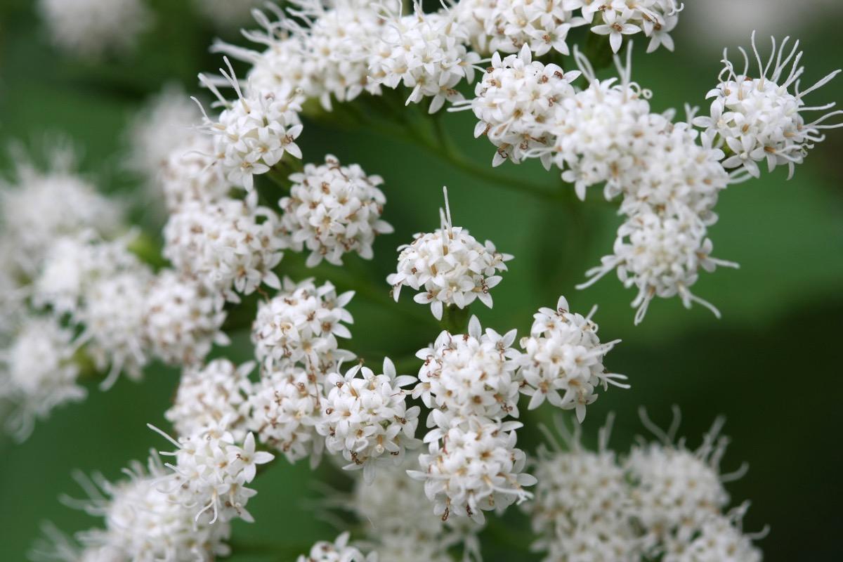 White Snakeroot Flower Dangerous Plants in Your Backyard