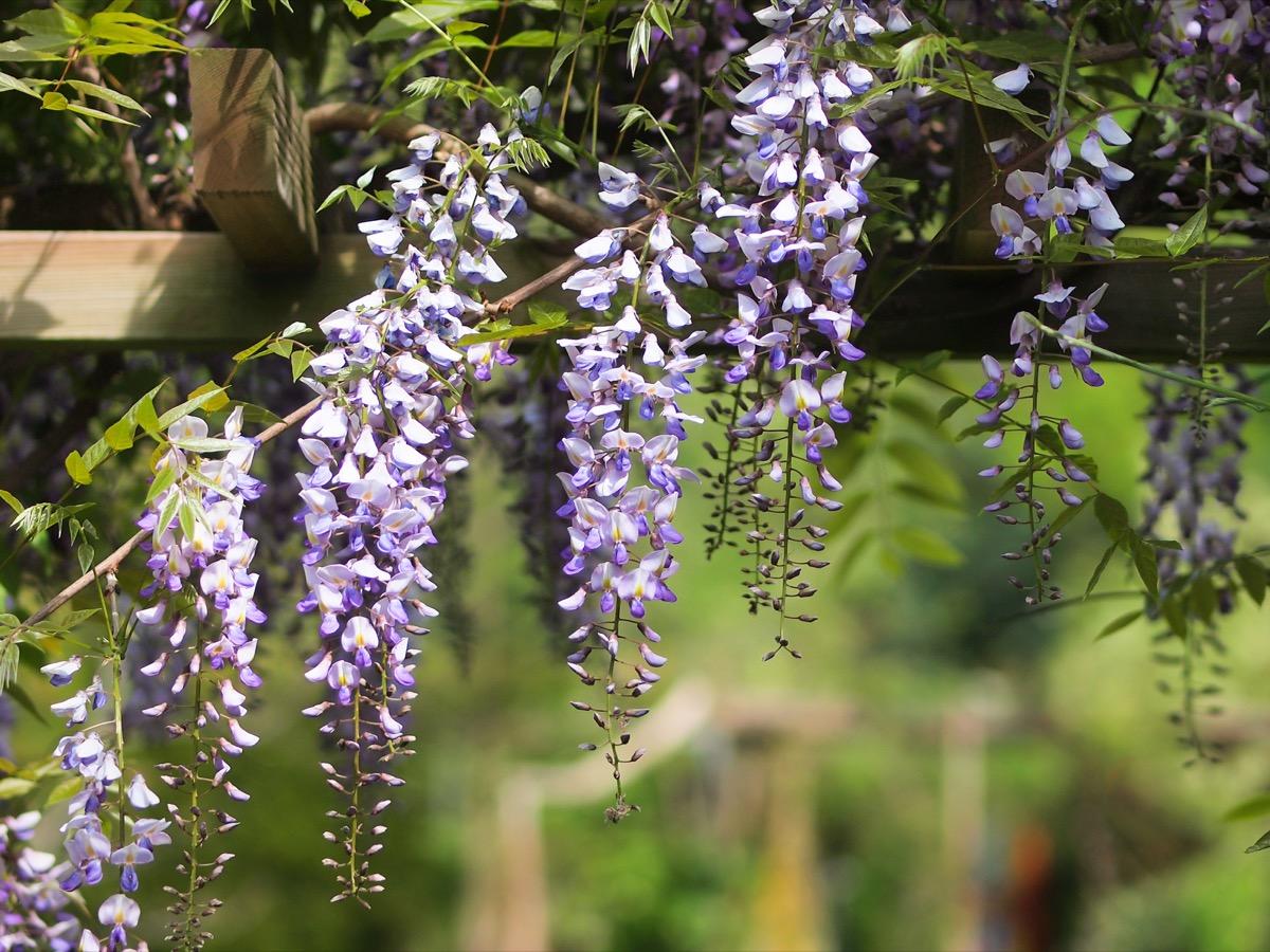 Wisteria Plant Dangerous Plants in Your Backyard