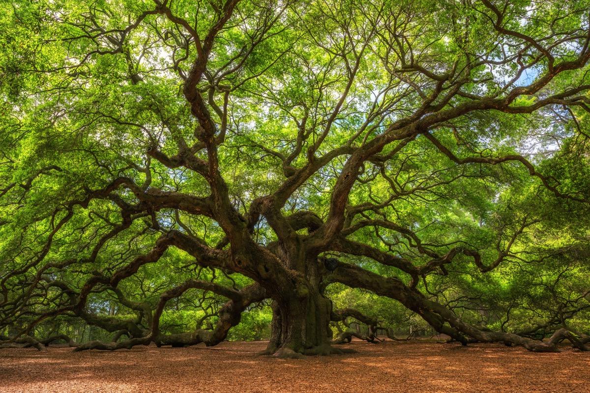 Angle Oak Tree in Johns Island, South Carolina. - Image, most common street names
