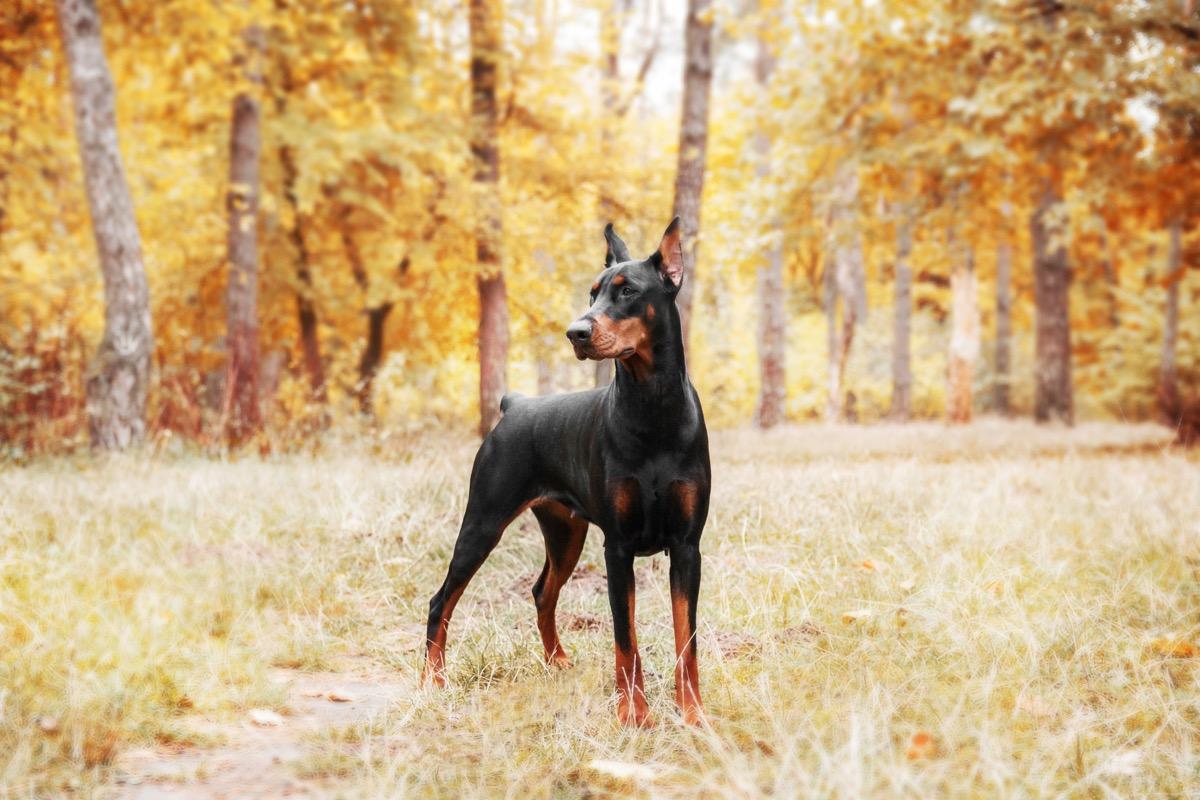 Doberman Pinscher standing in a field of autumn trees, top dog breeds