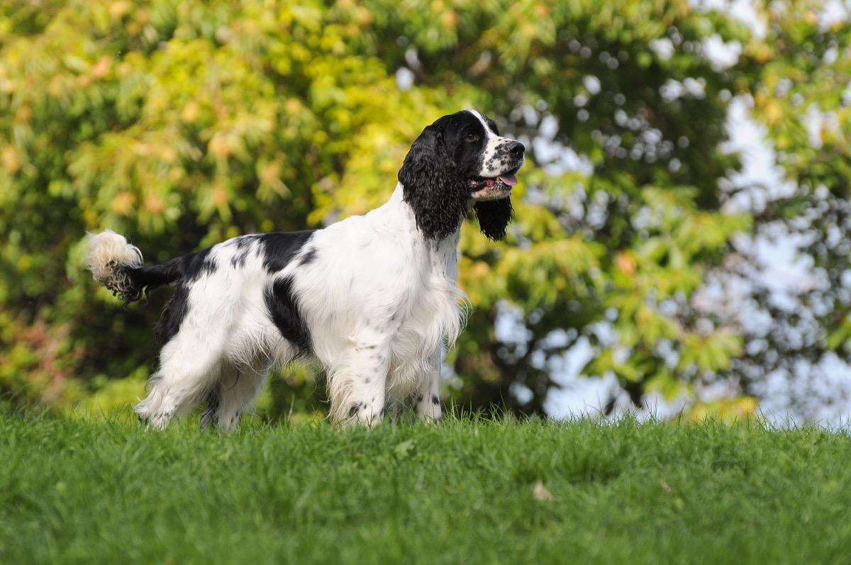 english springer spaniel dog, top dog breeds