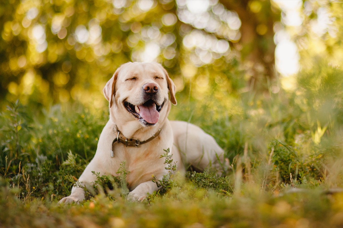 Labrador Retriever laying in the grass smiling, top dog breeds