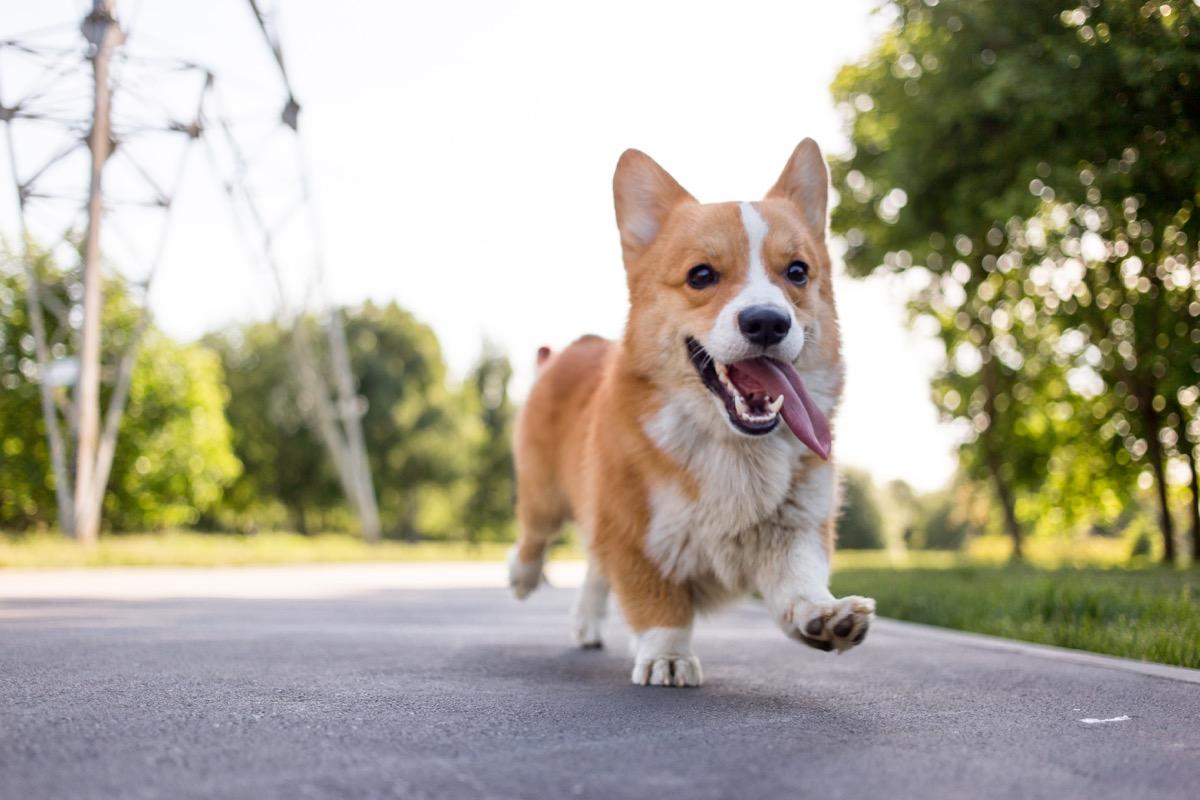 Pembroke Welsh Corgi running in the road, top dog breeds