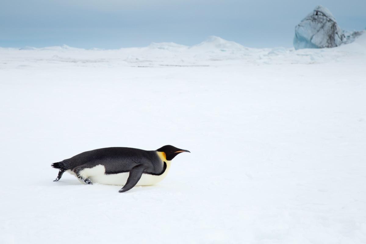 Photo of penguin sliding on belly on snow