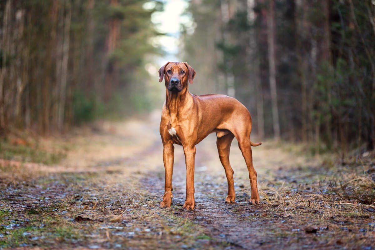 Rhodesian Ridgeback in the middle of the woods, top dog breeds