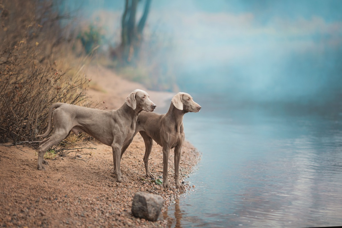 two weimaraner dogs standing by a lake, top dog breeds