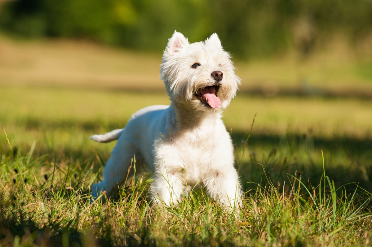West Highland White Terrier in the grass, top dog breeds