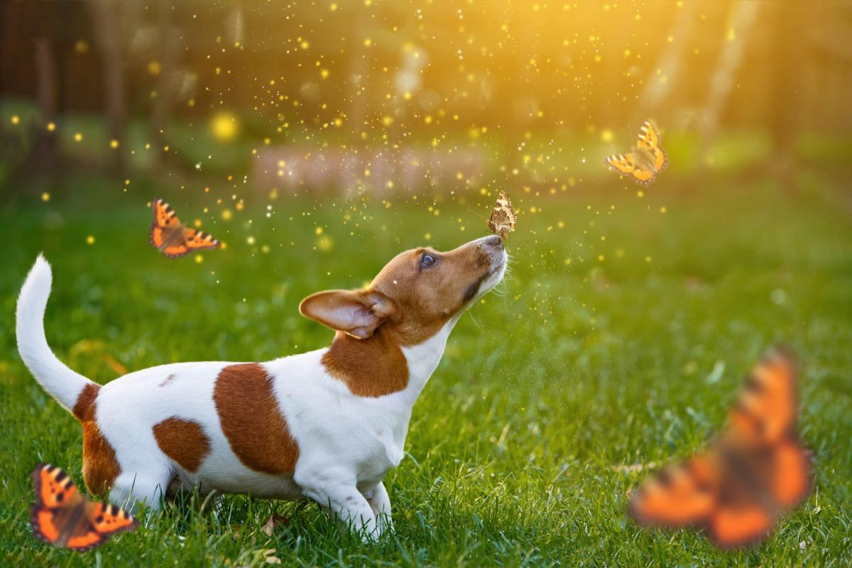 a dog in a butterfly field