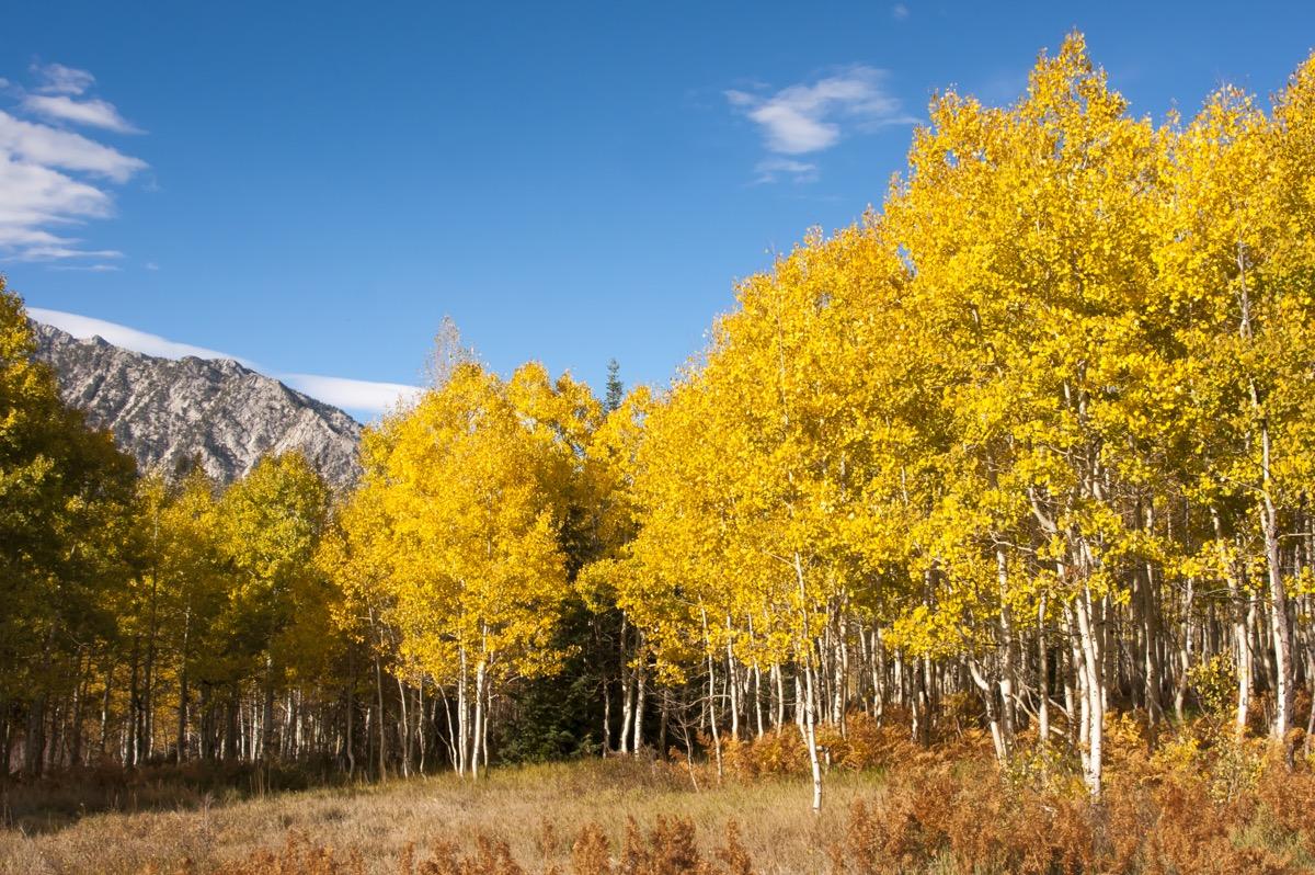Aspen grove in Utah Pando