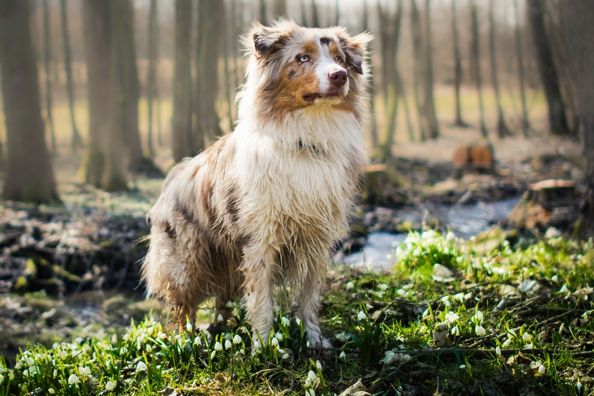 australian shephed dog standing in the forest, top dog breeds