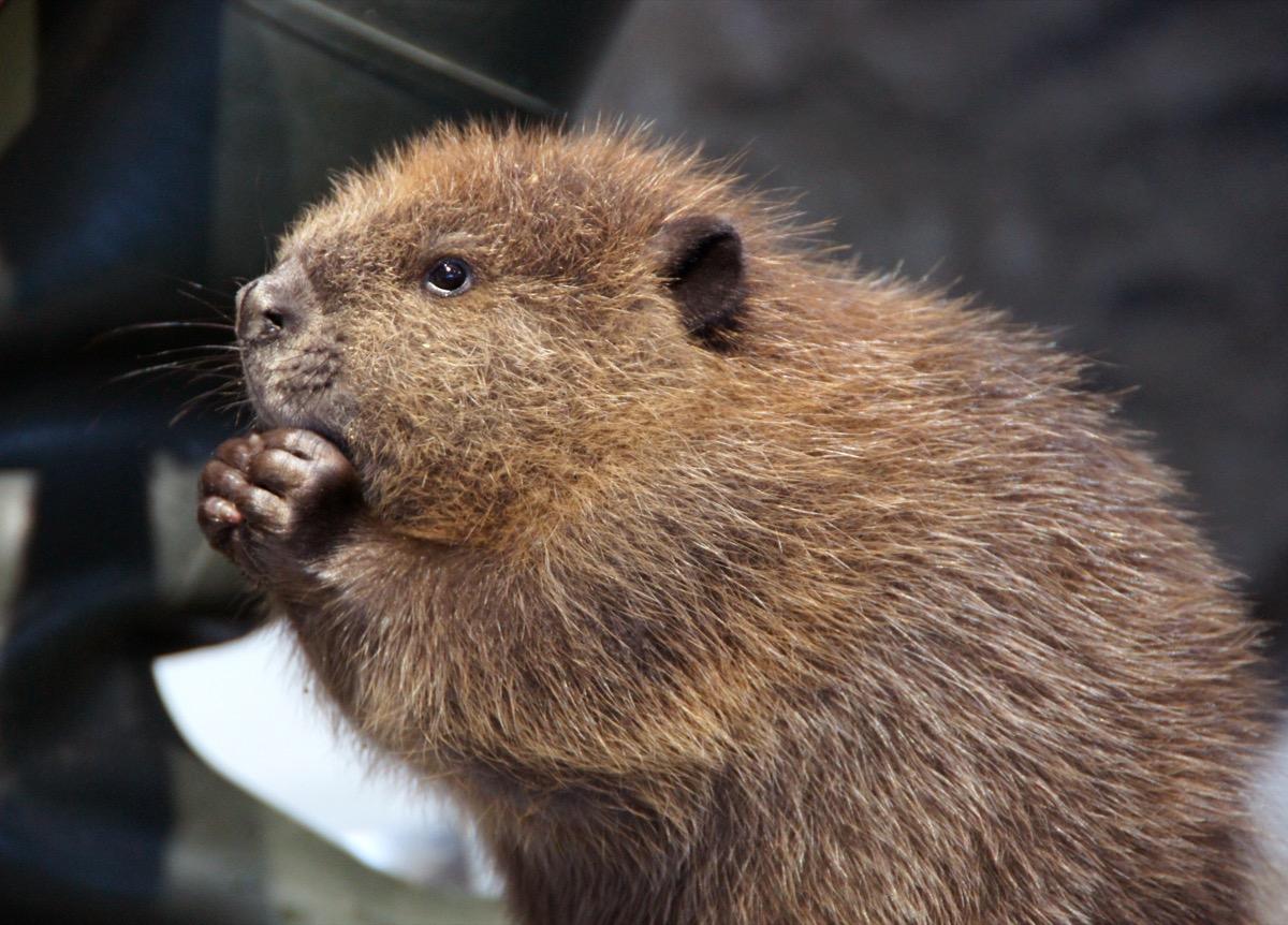 baby north american beaver