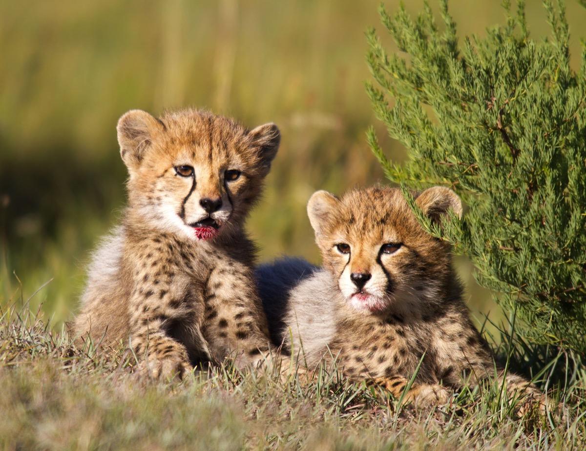 baby cheetahs in field, dangerous baby animals