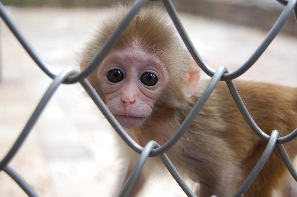 baby chimpanzee at zoo, dangerous baby animals
