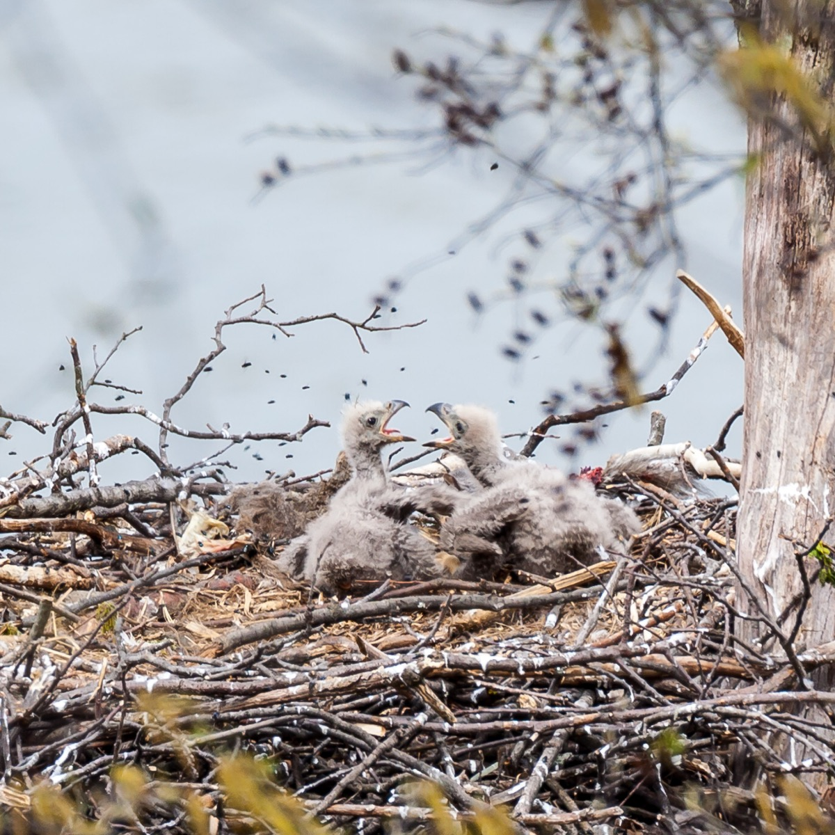 baby bald eagles in nest, eaglets, dangerous baby animals