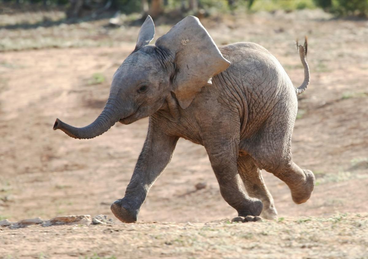baby african elephant running to waterhole, dangerous abby animals