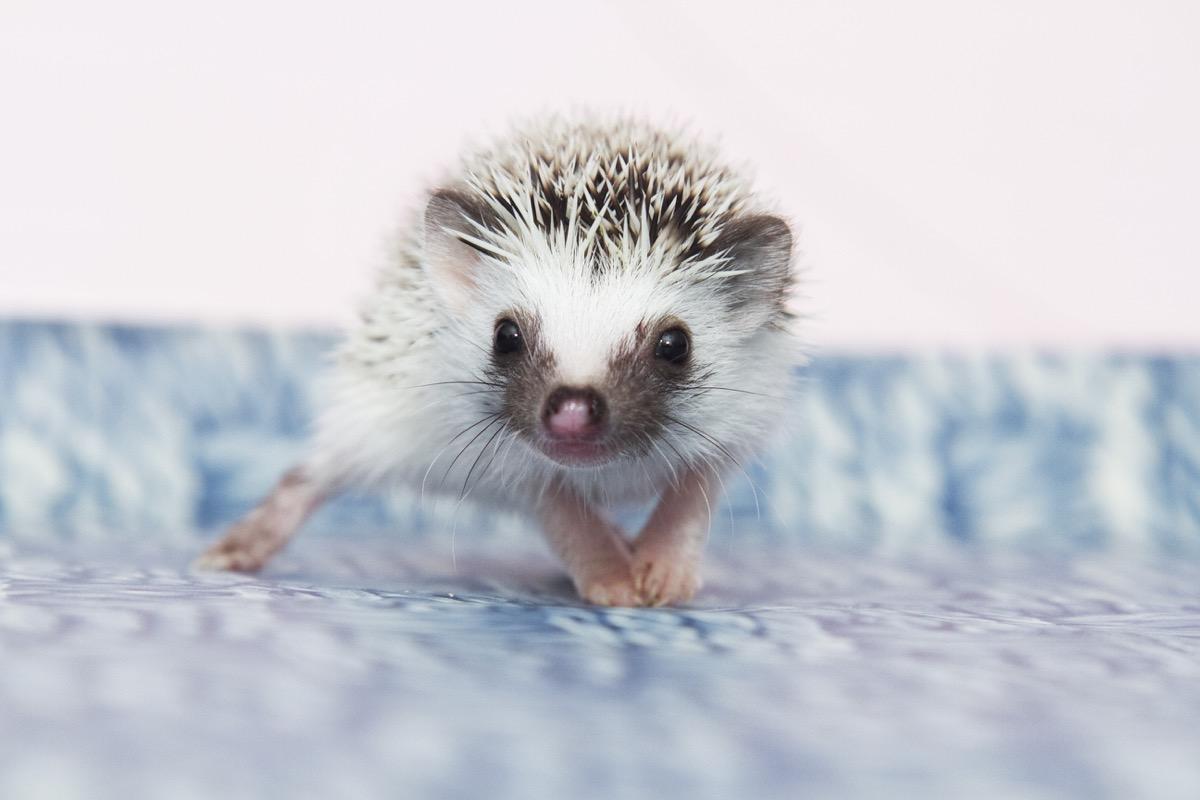 baby hedgehog, dangerous baby animals