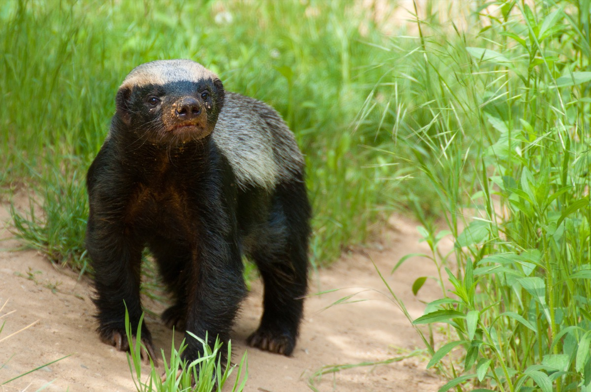 baby honey badger in the grass, dangerous deadly animals