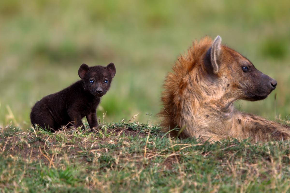 baby hyena with mother in kenya, dangerous baby animals
