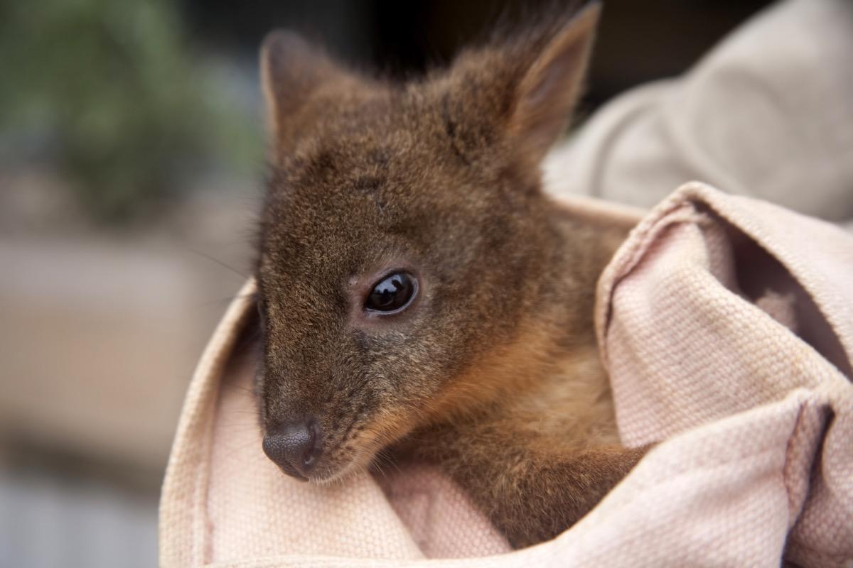 baby kangaroo or joey in a pink blanket, dangerous baby animals