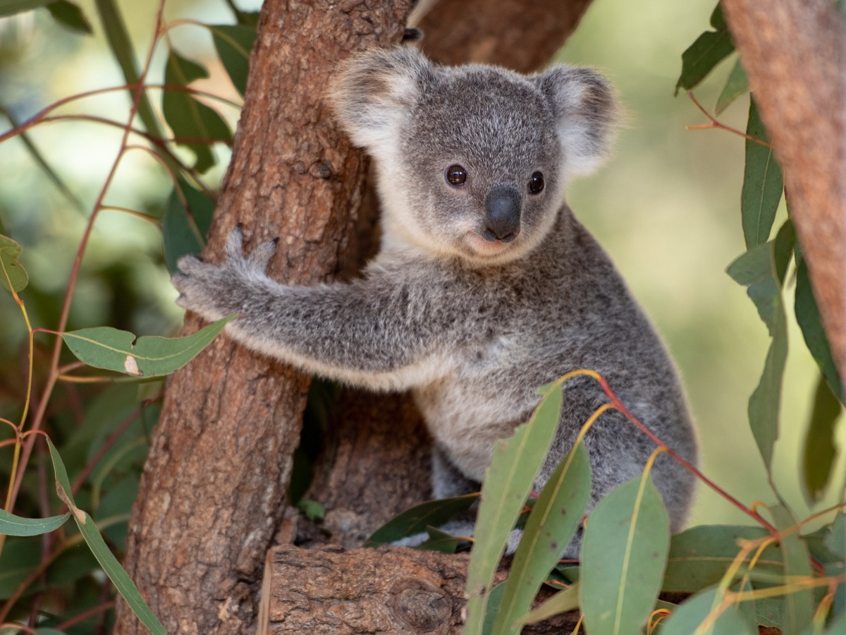 baby koala or joey in tree, dangerous baby animals