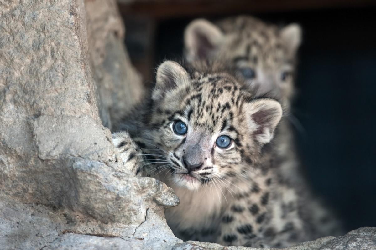 baby leopard peeking around tree, dangerous baby animals