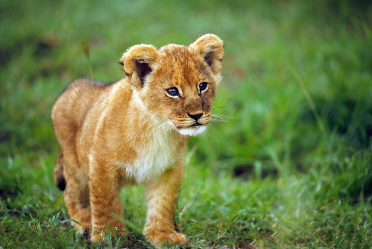 baby lion cub in the grass, dangerous baby animals