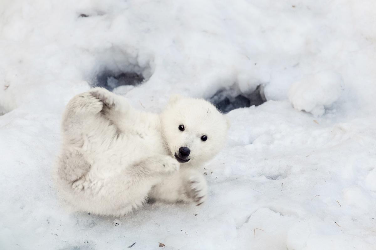 baby polar bear playing in snow, dangerous baby animals