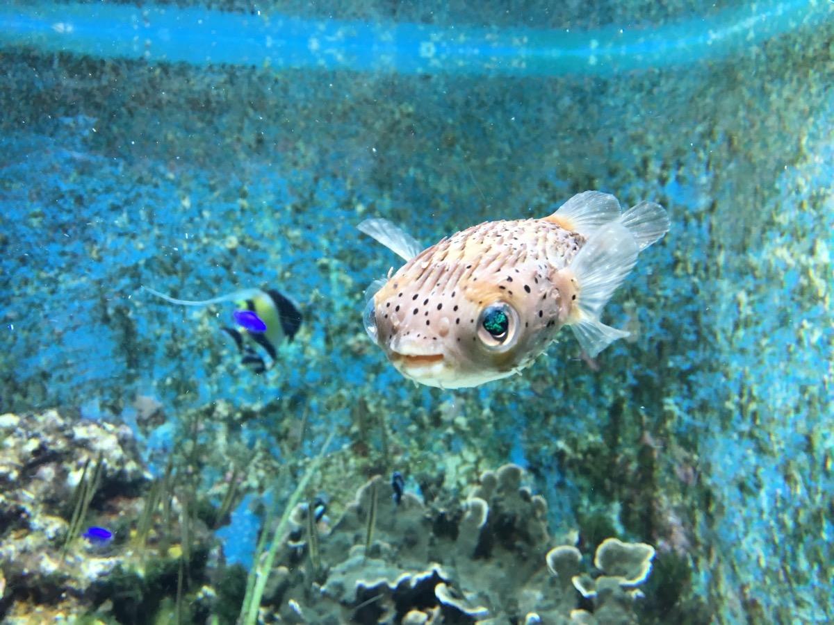 baby pufferfish in the ocean, dangerous baby animals