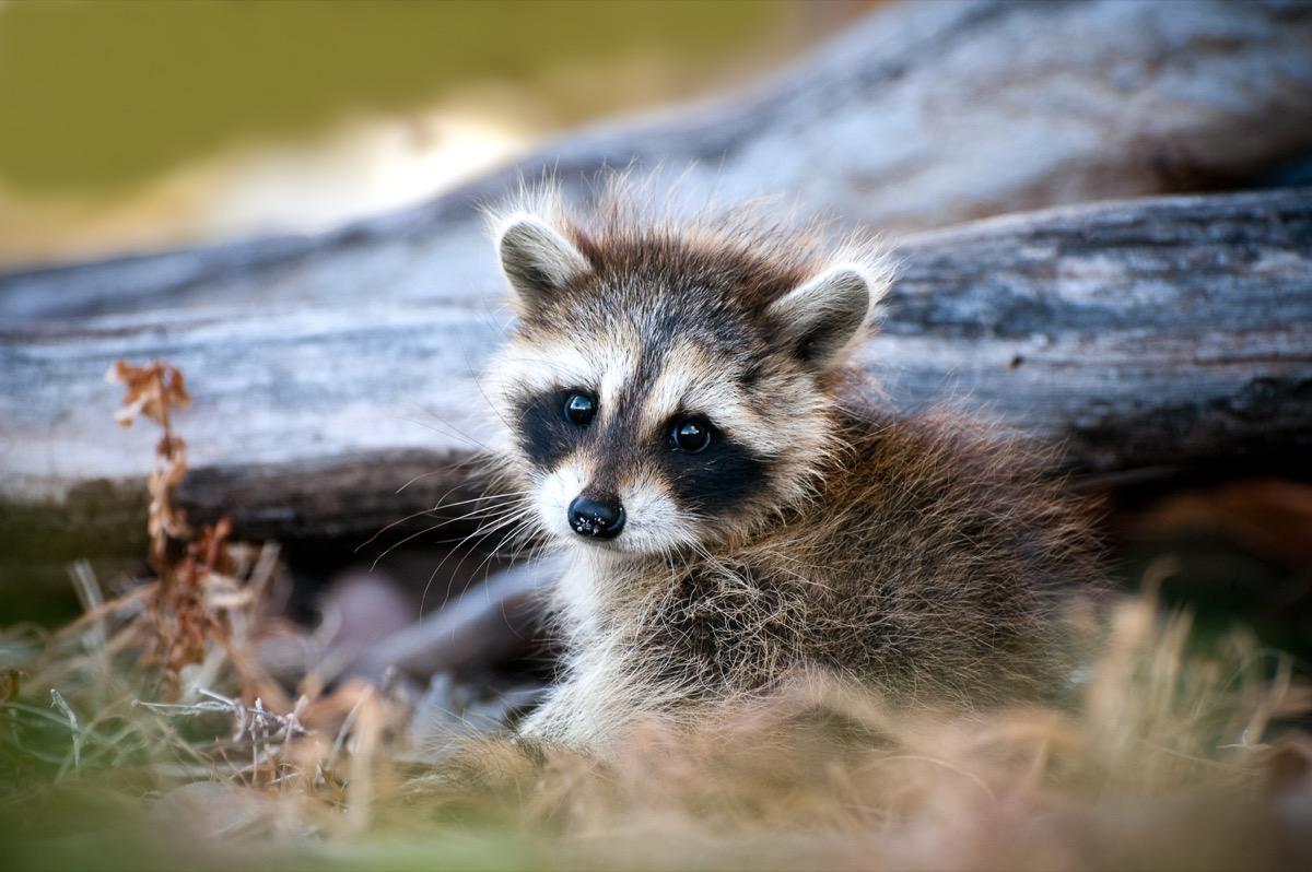 baby raccoon in the wild, dangerous baby animals