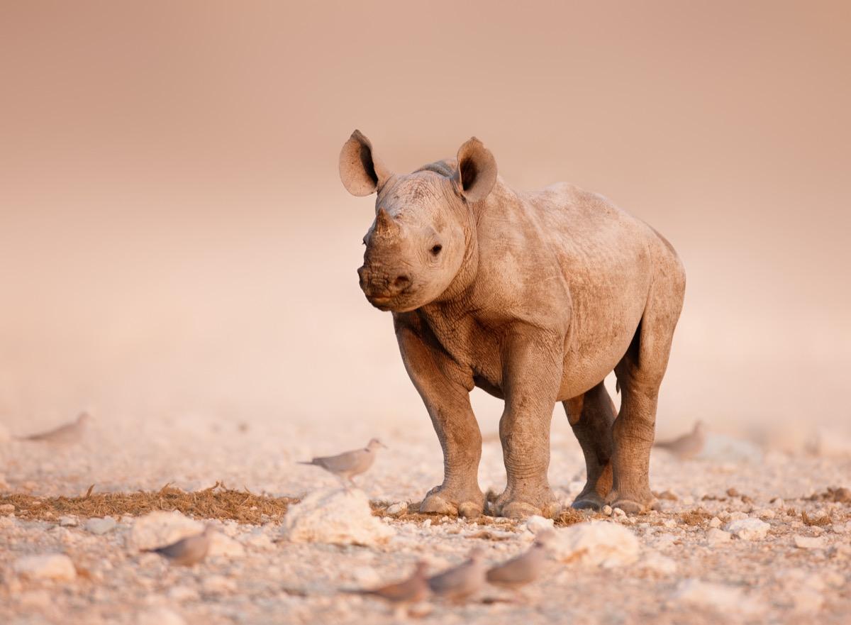 baby rhino in etosha, dangerous baby animals