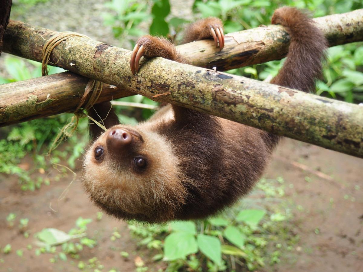 Baby sloth - Image